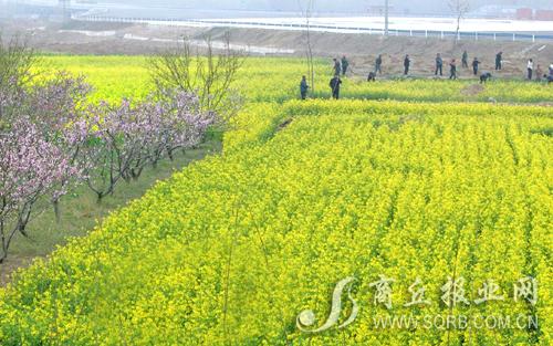 碧绿的麦田,盛开的油菜花