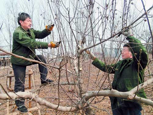 /enpproperty-->  1月16日上午,水池鋪鄉沈墳村千畝蘋果園里,2名果農正專心修剪蘋果樹枝條。 據該鄉農技師介紹,入冬落葉后到春季萌芽前進行的修剪均可。主要任務是疏除病蟲枝、密生枝、徒長枝等一些無用枝,方法有短截骨干枝頭,回縮過長過大結果枝組、輔養枝和衰弱的骨干枝頭,其作用是調整骨干枝、輔養枝及結果枝組的角度和伸展方向,控制花葉芽比例,平衡樹勢,以達到豐產高產的目的,在素有蘋果之鄉的水池鋪鄉,果農抓住農時,對蘋果樹進行剪枝,確保明年增產增收。